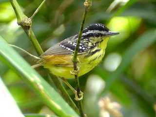 - Yellow-breasted Warbling-Antbird