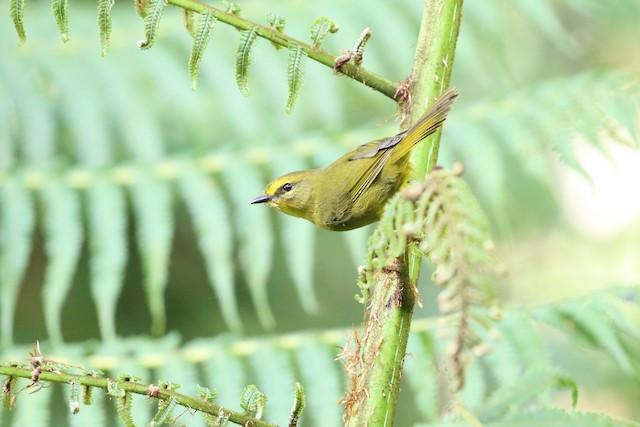 Pale-legged Warbler