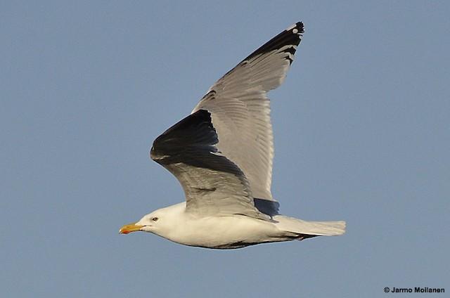 Herring Gull (European)