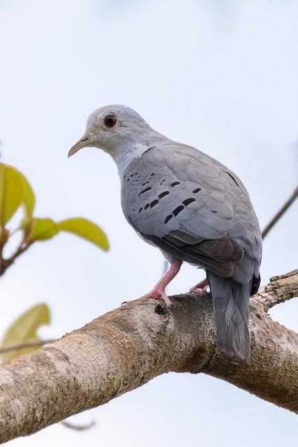 Blue Ground Dove