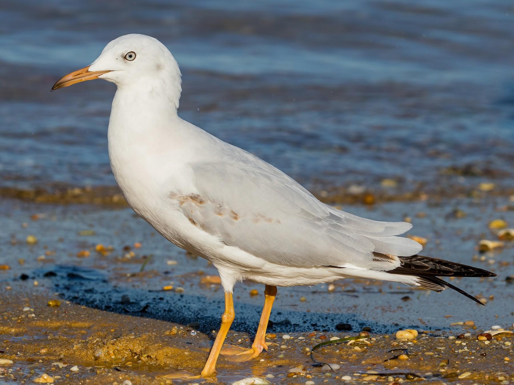 Slender-billed Gull - Renato Bagarrão