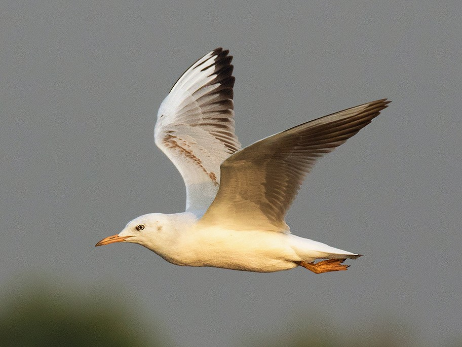 Slender-billed Gull - Ayuwat Jearwattanakanok
