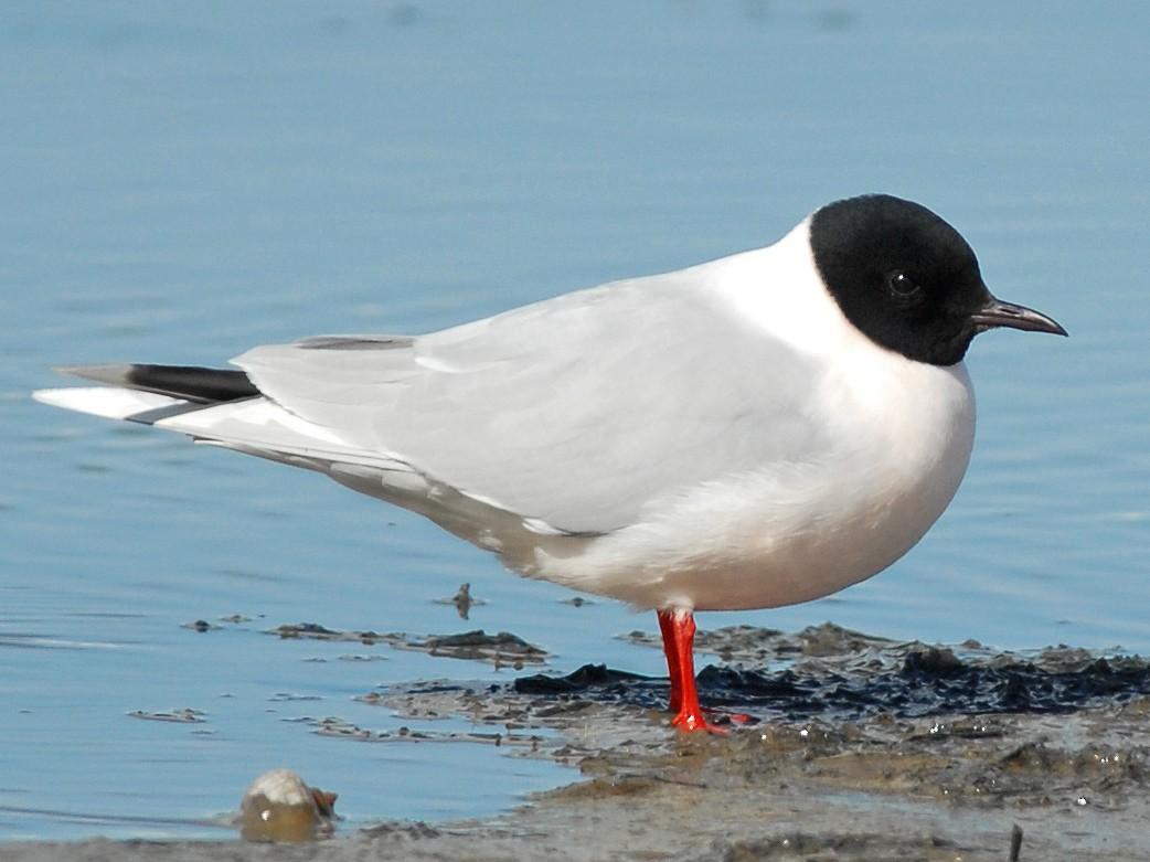 Little Gull - Cameron Eckert