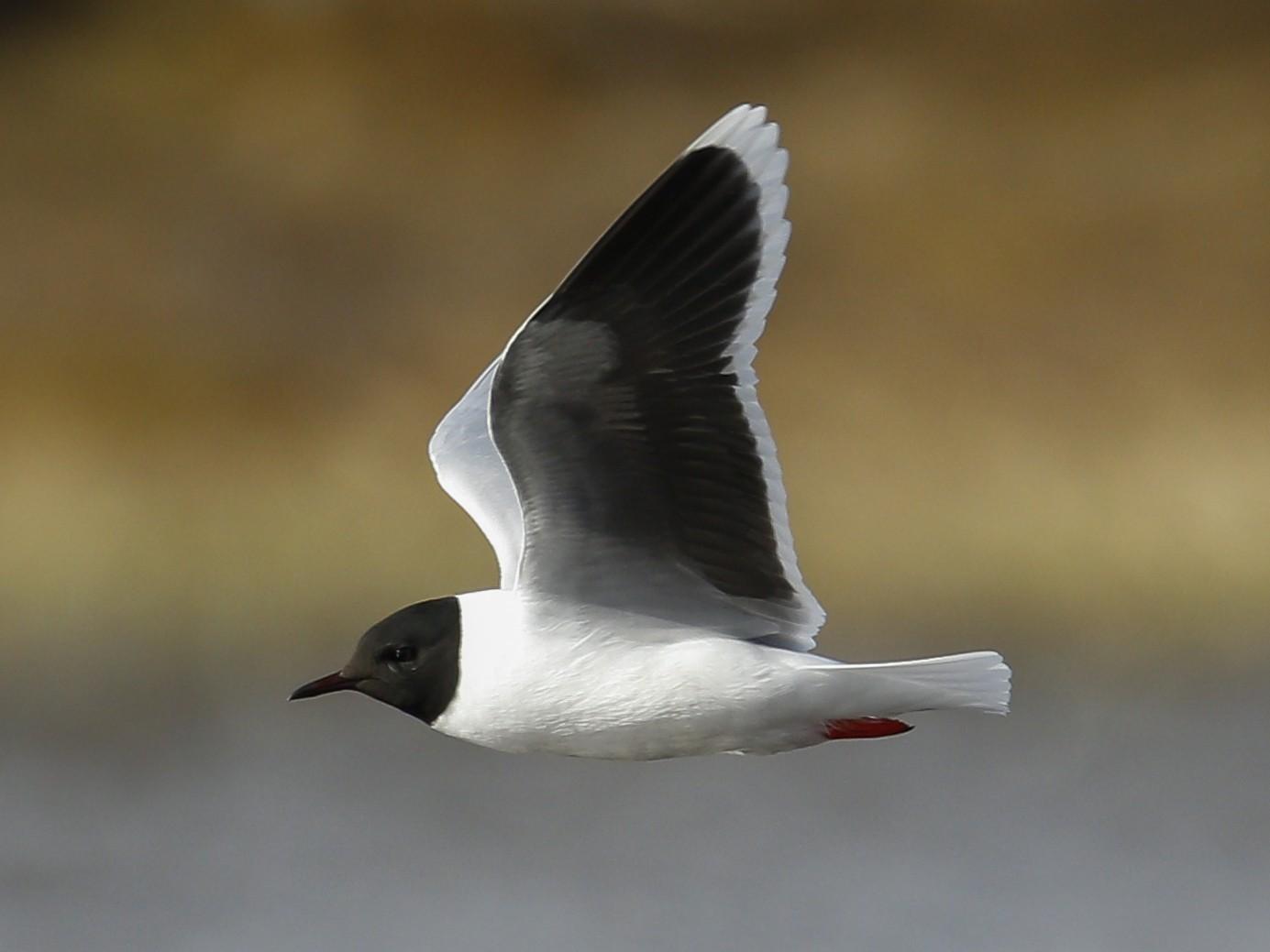 Little Gull - James Kennerley 🦄