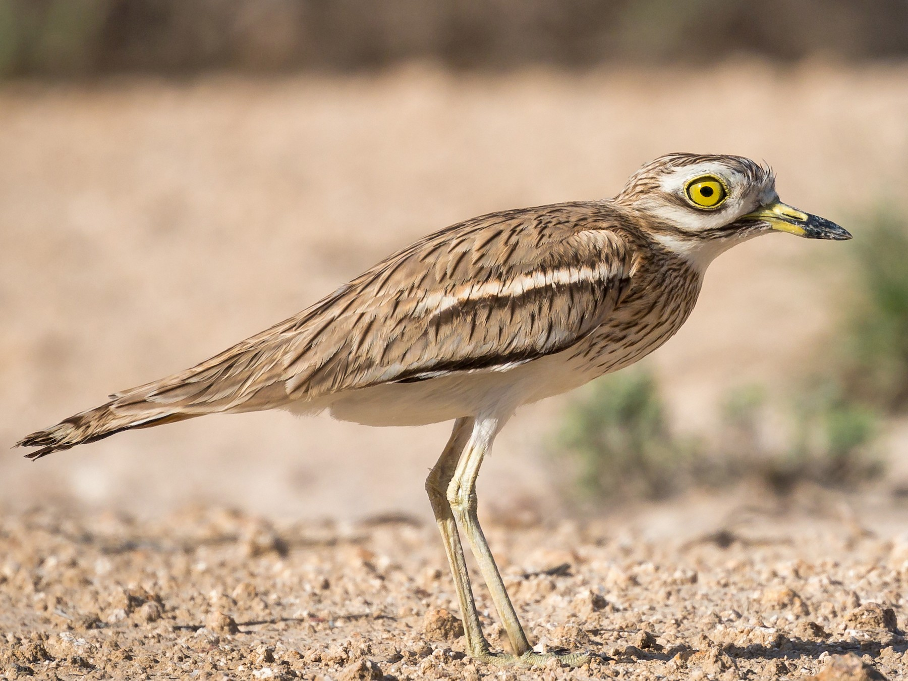 Eurasian Thick-knee - Swapnil Bhosekar