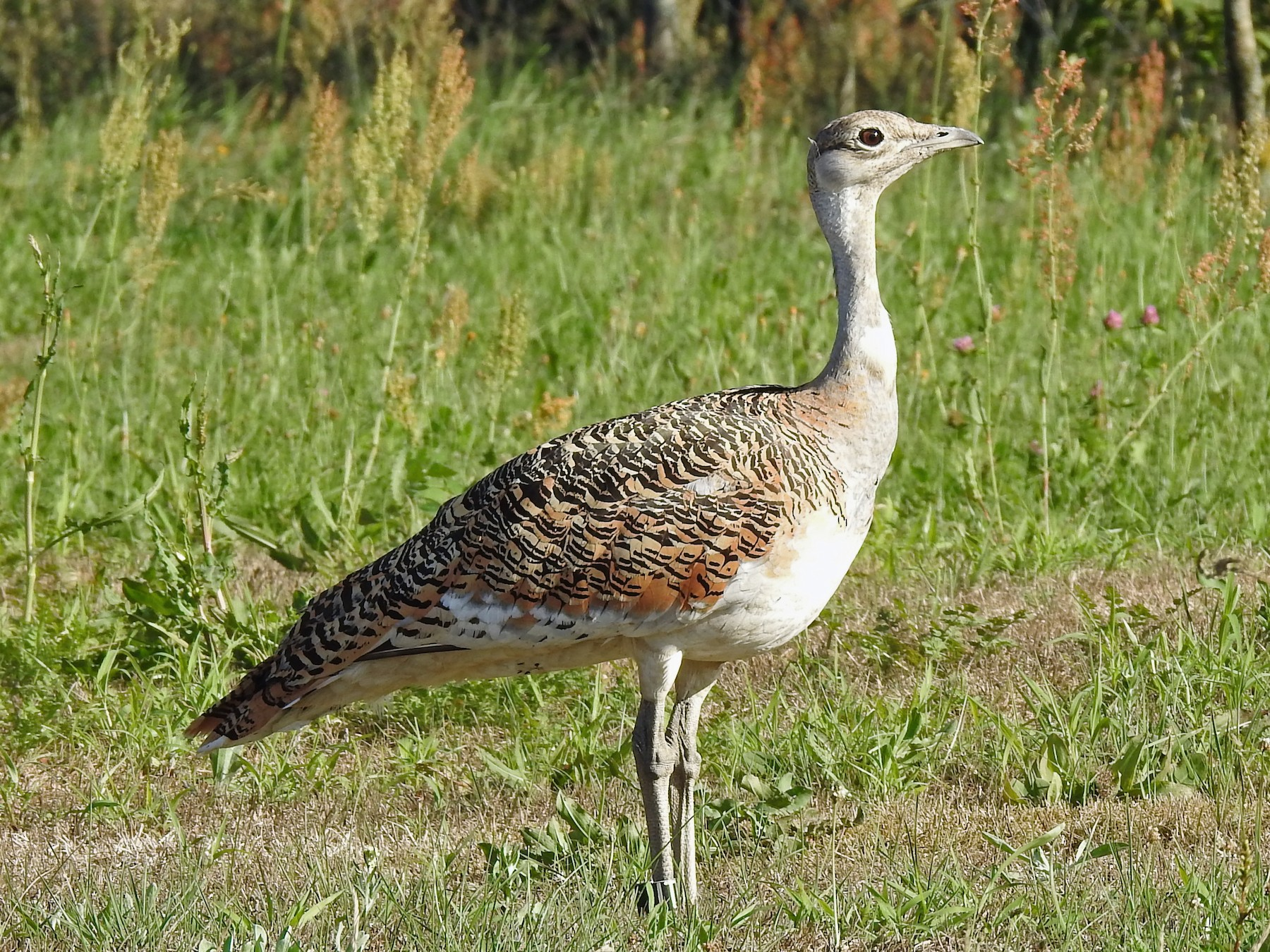 Great Bustard - Anonymous eBirder