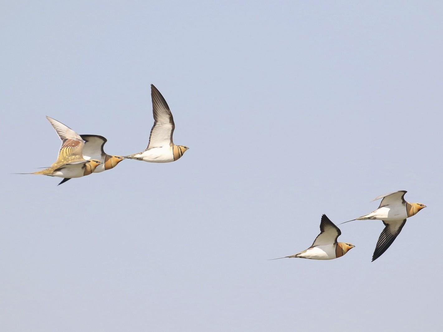 Pin-tailed Sandgrouse - Laurent Esselen