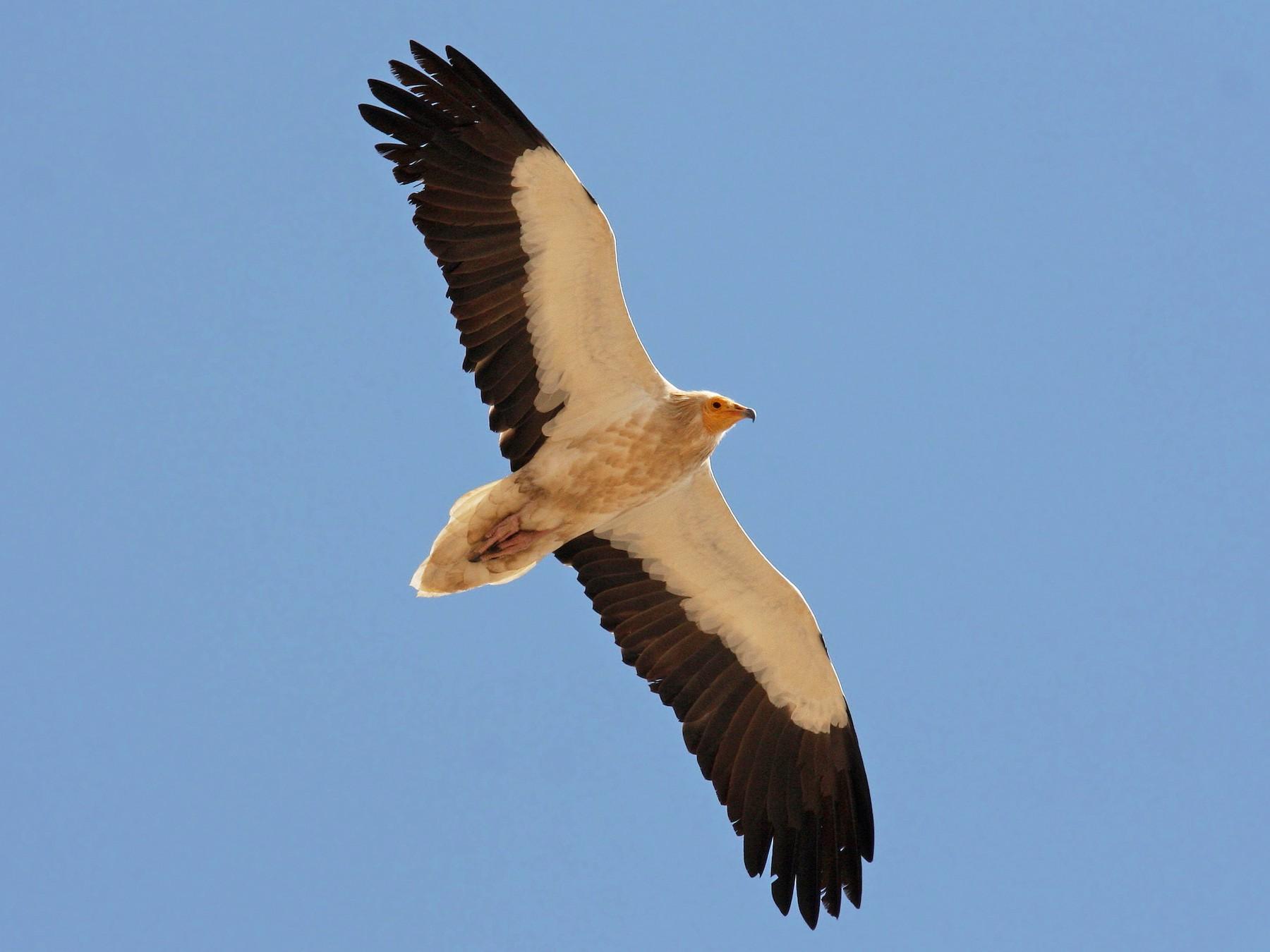 Egyptian Vulture - Christoph Moning