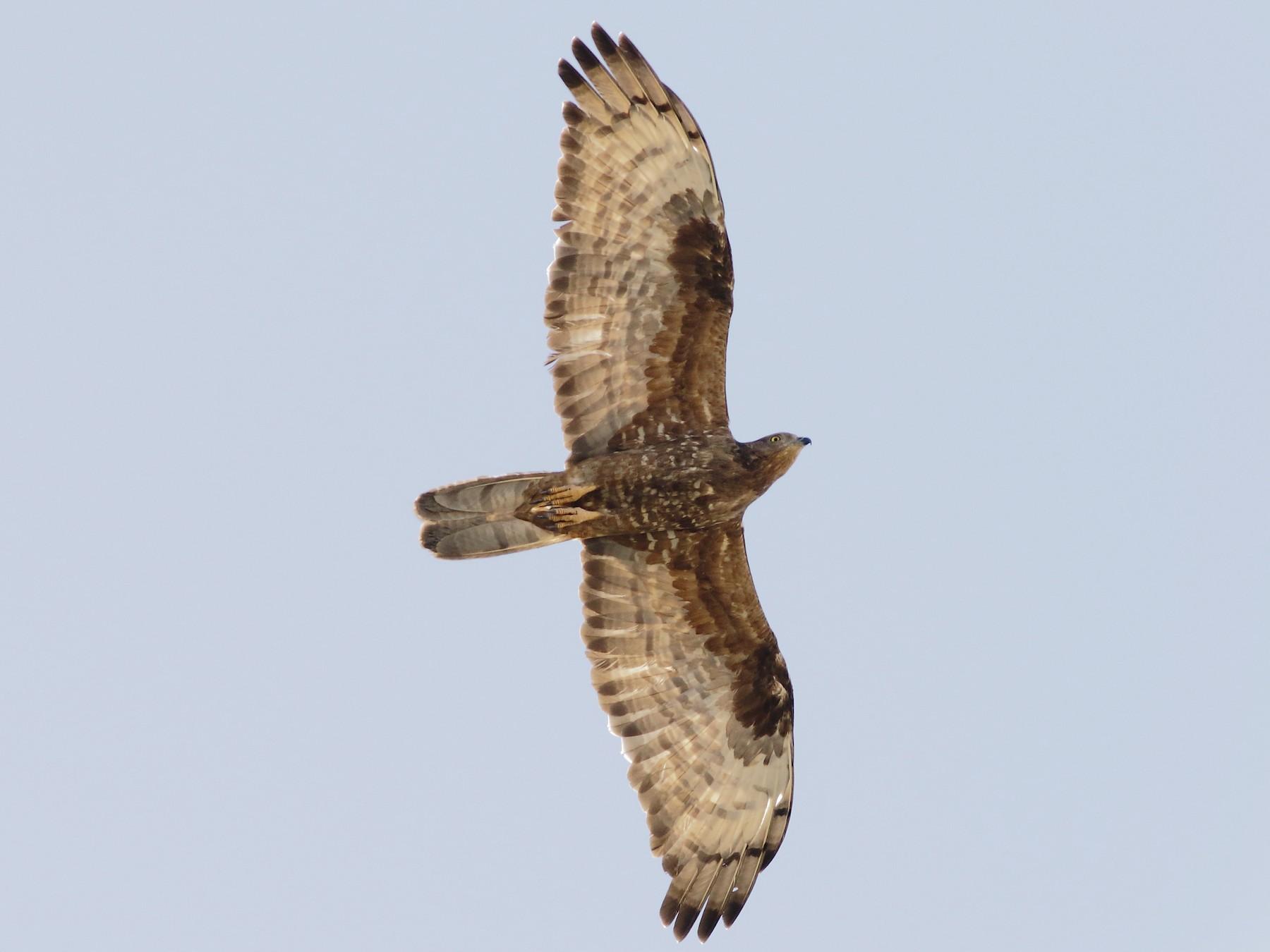 European Honey-buzzard - Sérgio Correia