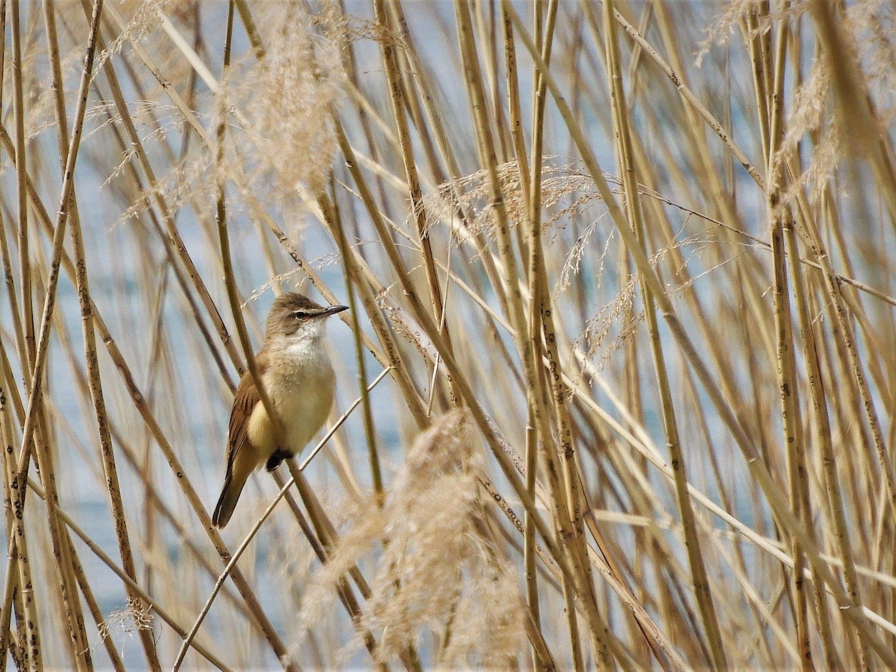 Great Reed Warbler - Andy  Woodward