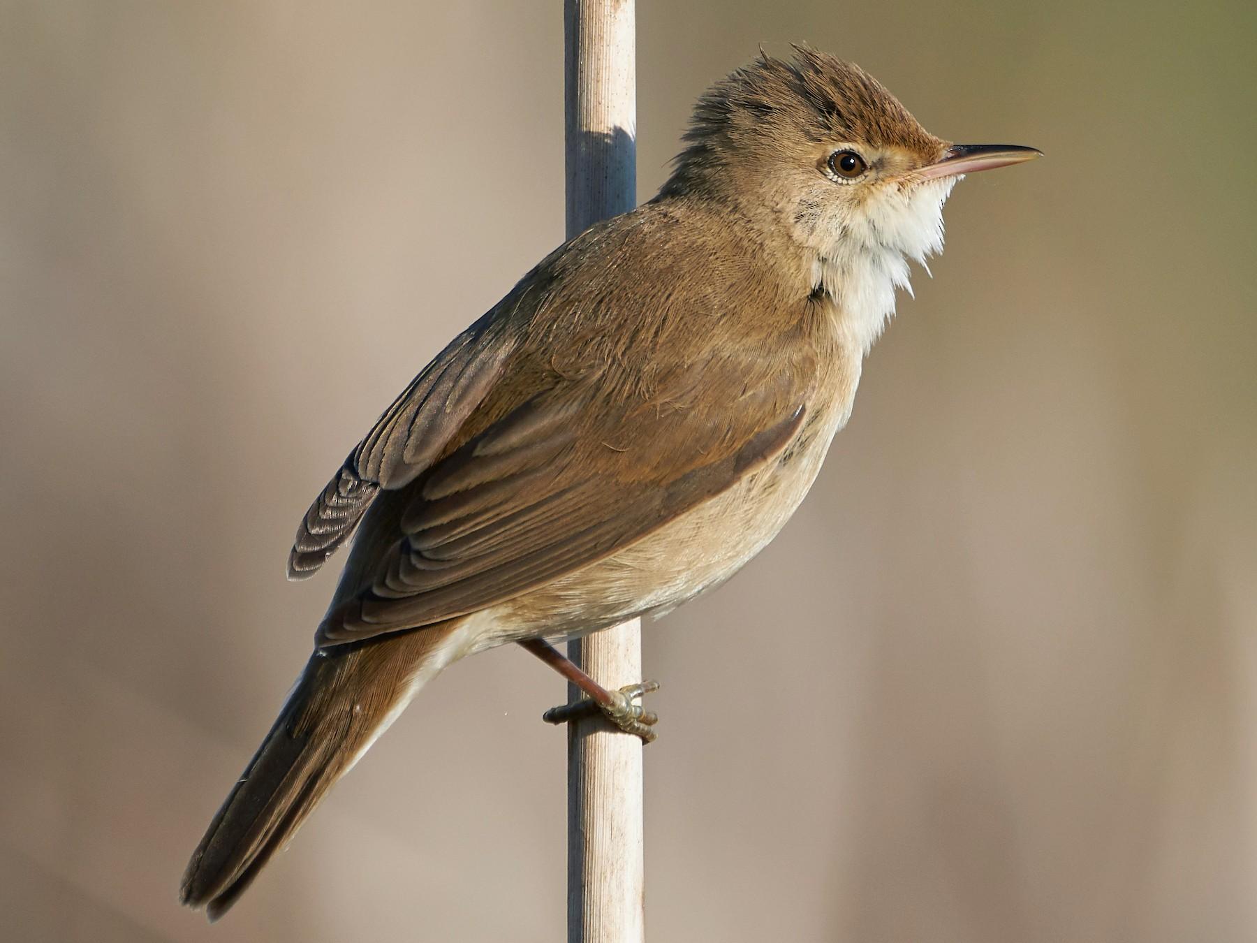 Eurasian Reed Warbler - Miguel Rouco