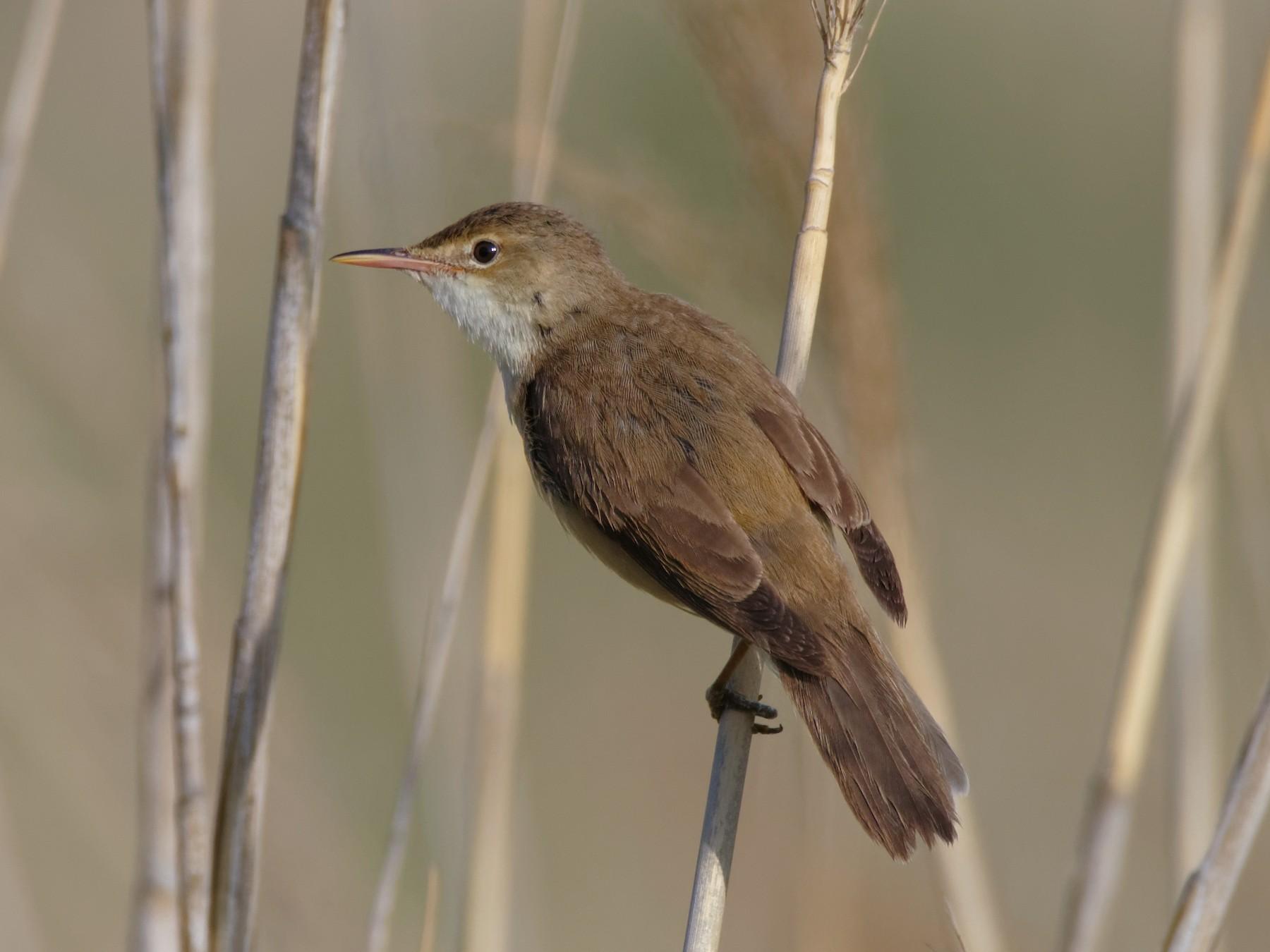 Eurasian Reed Warbler - Vincent Wang