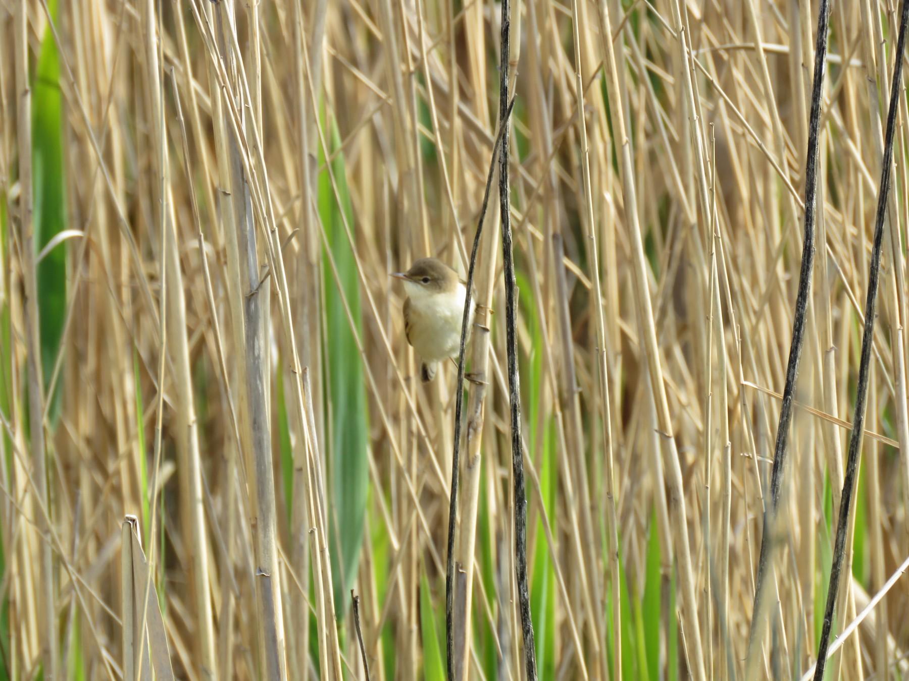 Eurasian Reed Warbler - Thomas Brooks