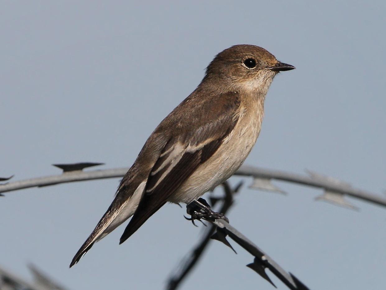 European Pied Flycatcher - Christoph Moning