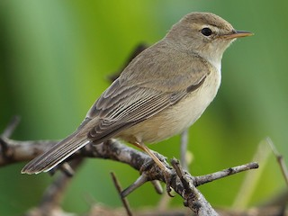 - Booted Warbler