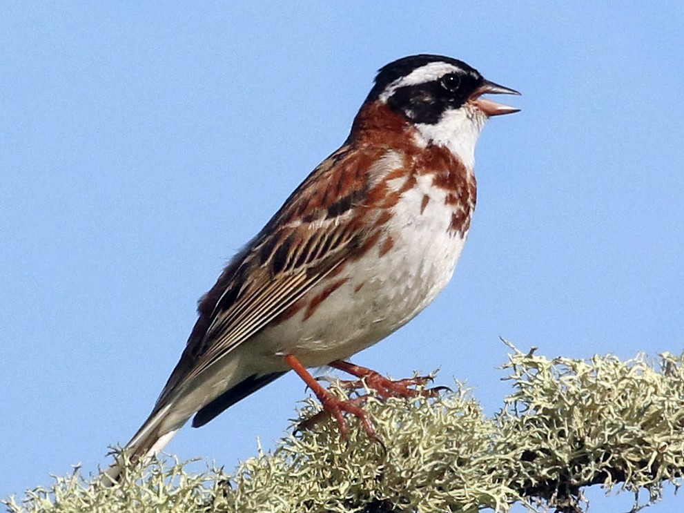 Rustic Bunting - Andrew Spencer