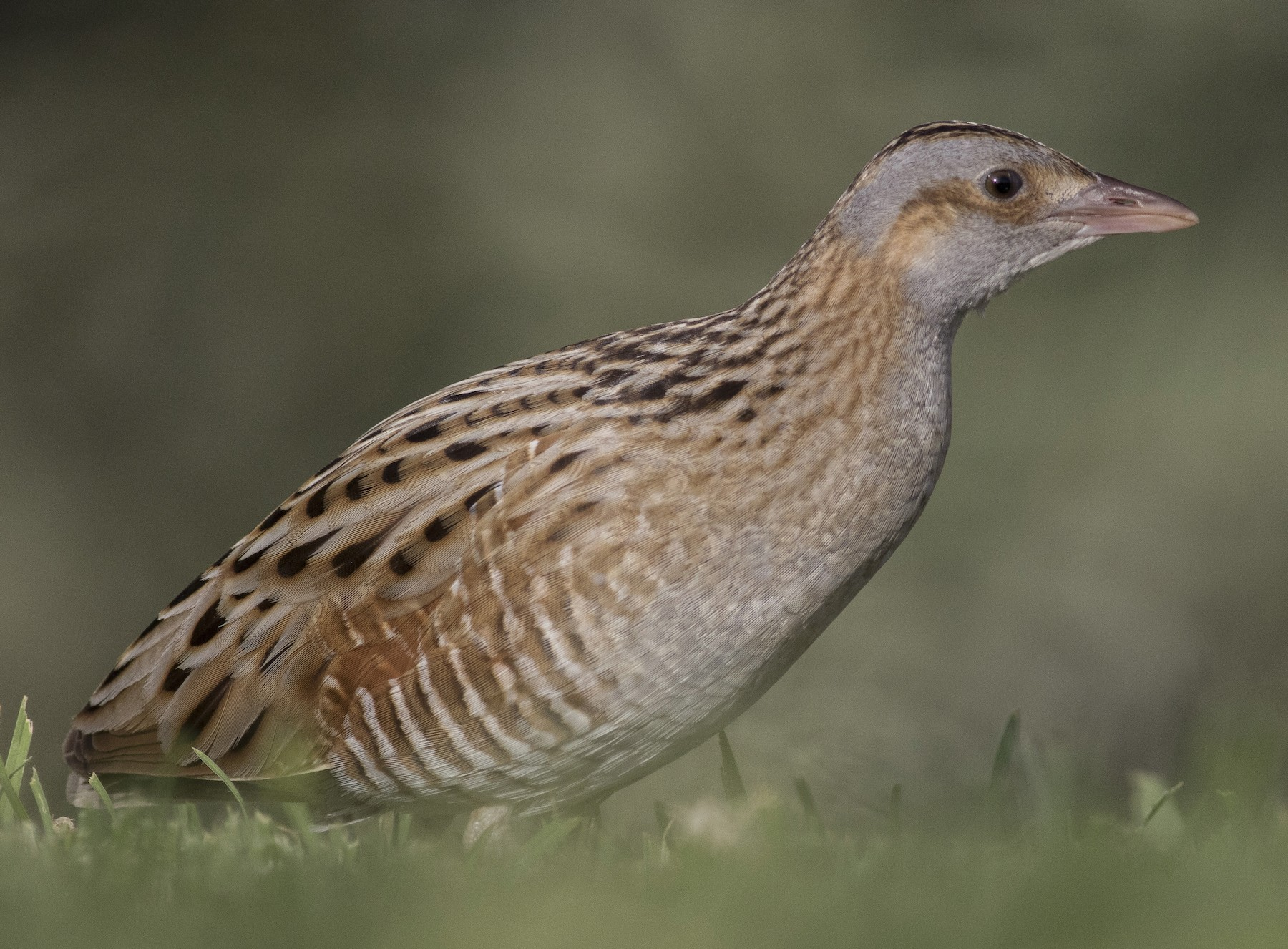 Corn Crake - Jacob Drucker