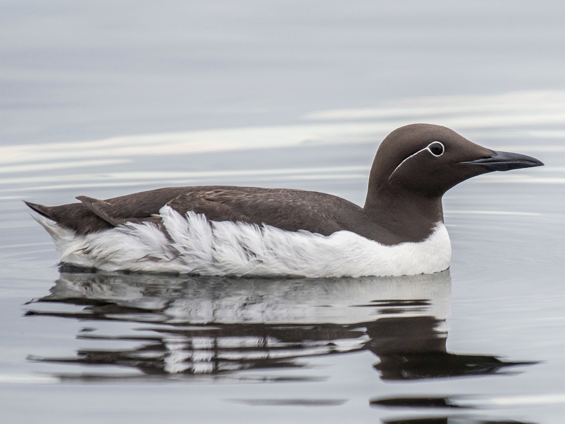 Common Murre - Simon Boivin