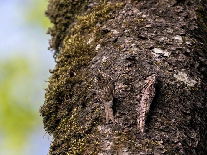 Bar-tailed Treecreeper - Samyak Kaninde