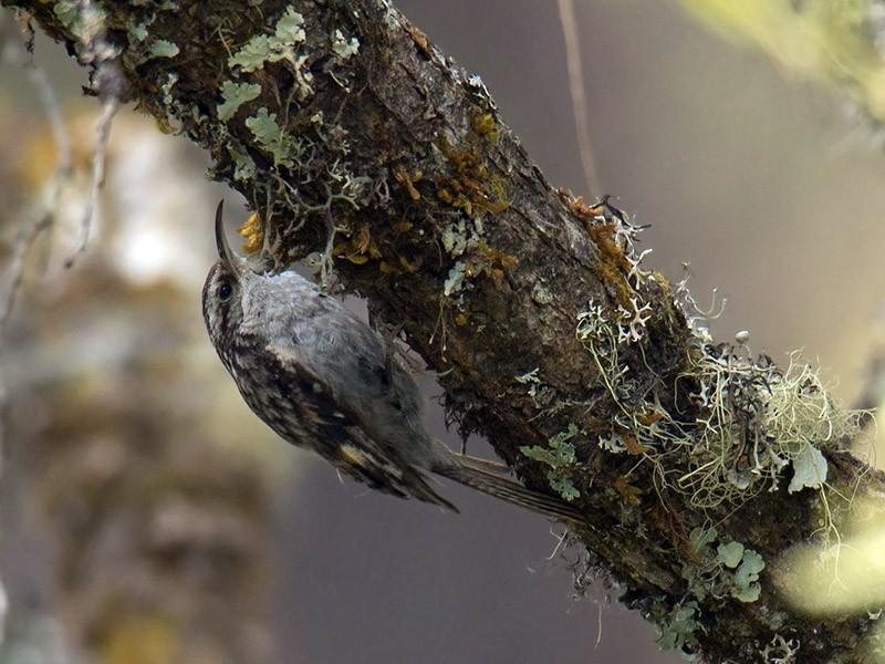 Bar-tailed Treecreeper - Wich'yanan (Jay) Limparungpatthanakij