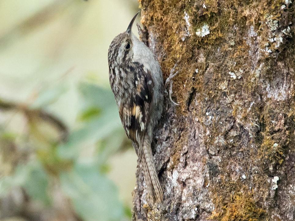 Bar-tailed Treecreeper - Ayuwat Jearwattanakanok