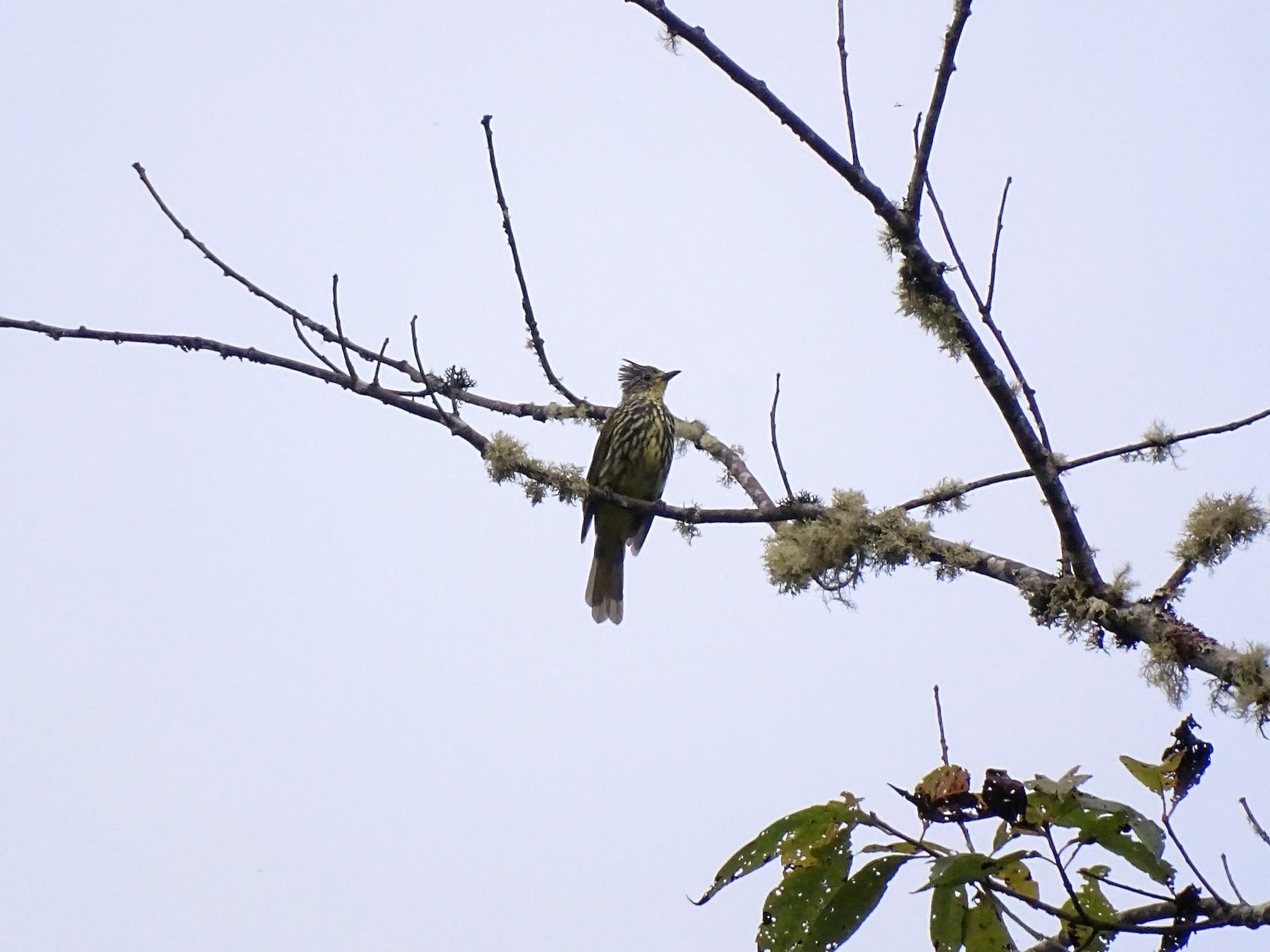 Striated Bulbul - Yuvan Aves
