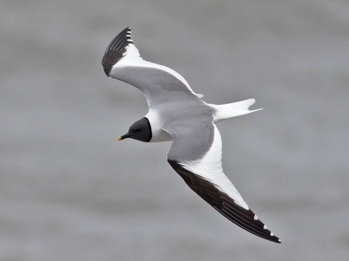 Sabine's Gull - Tom Johnson
