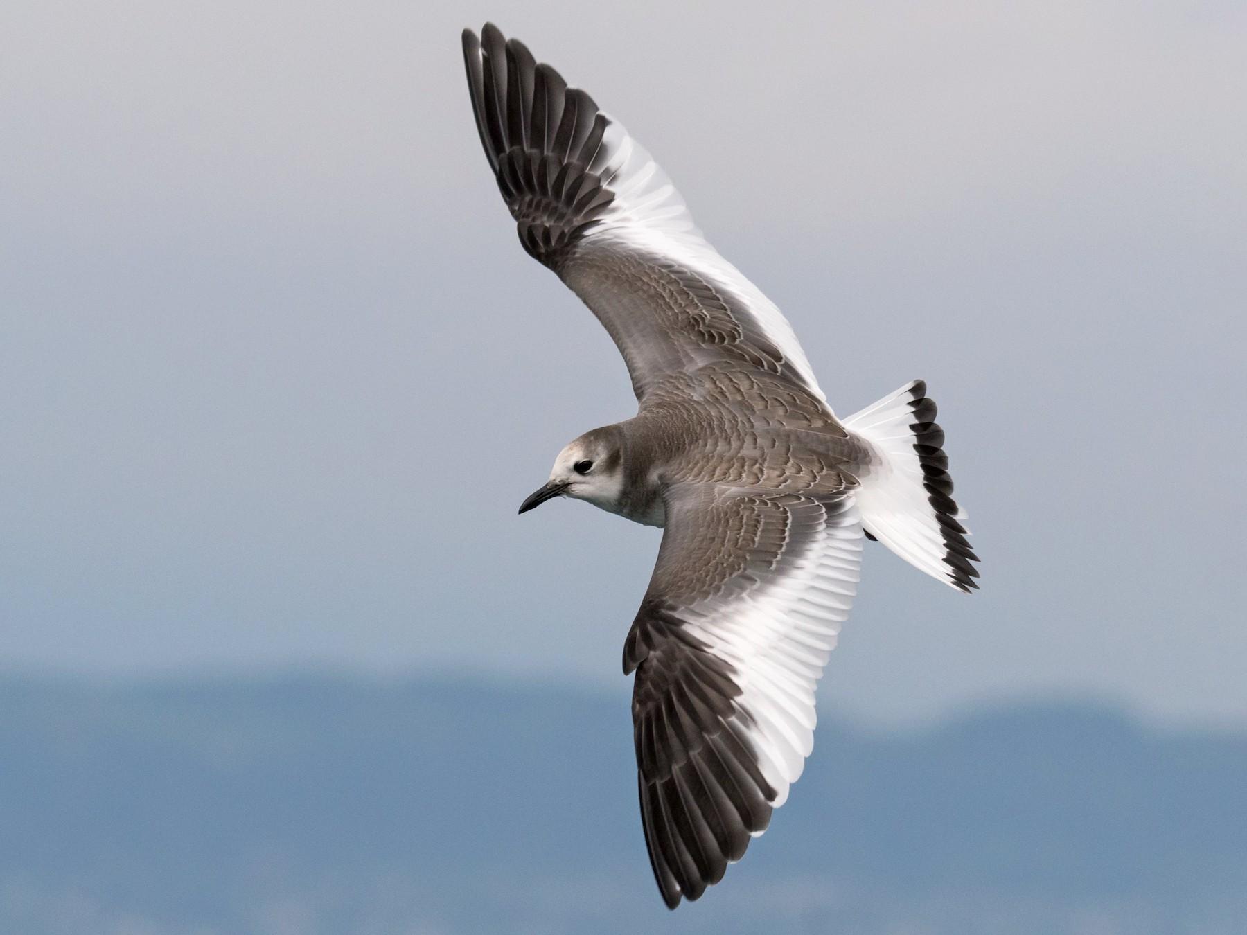 Sabine's Gull - Raphaël Nussbaumer