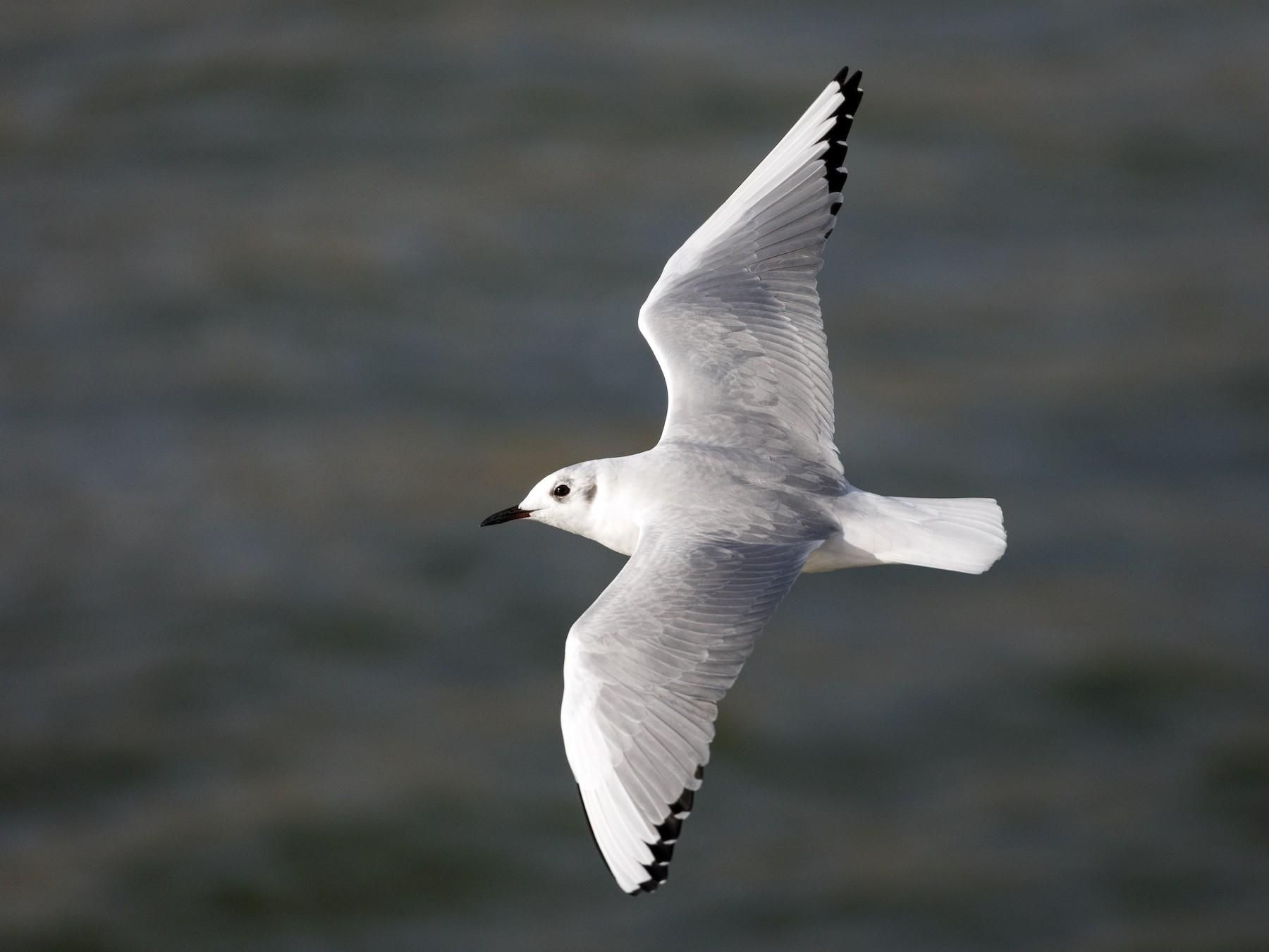 Bonaparte's Gull - Darren Clark