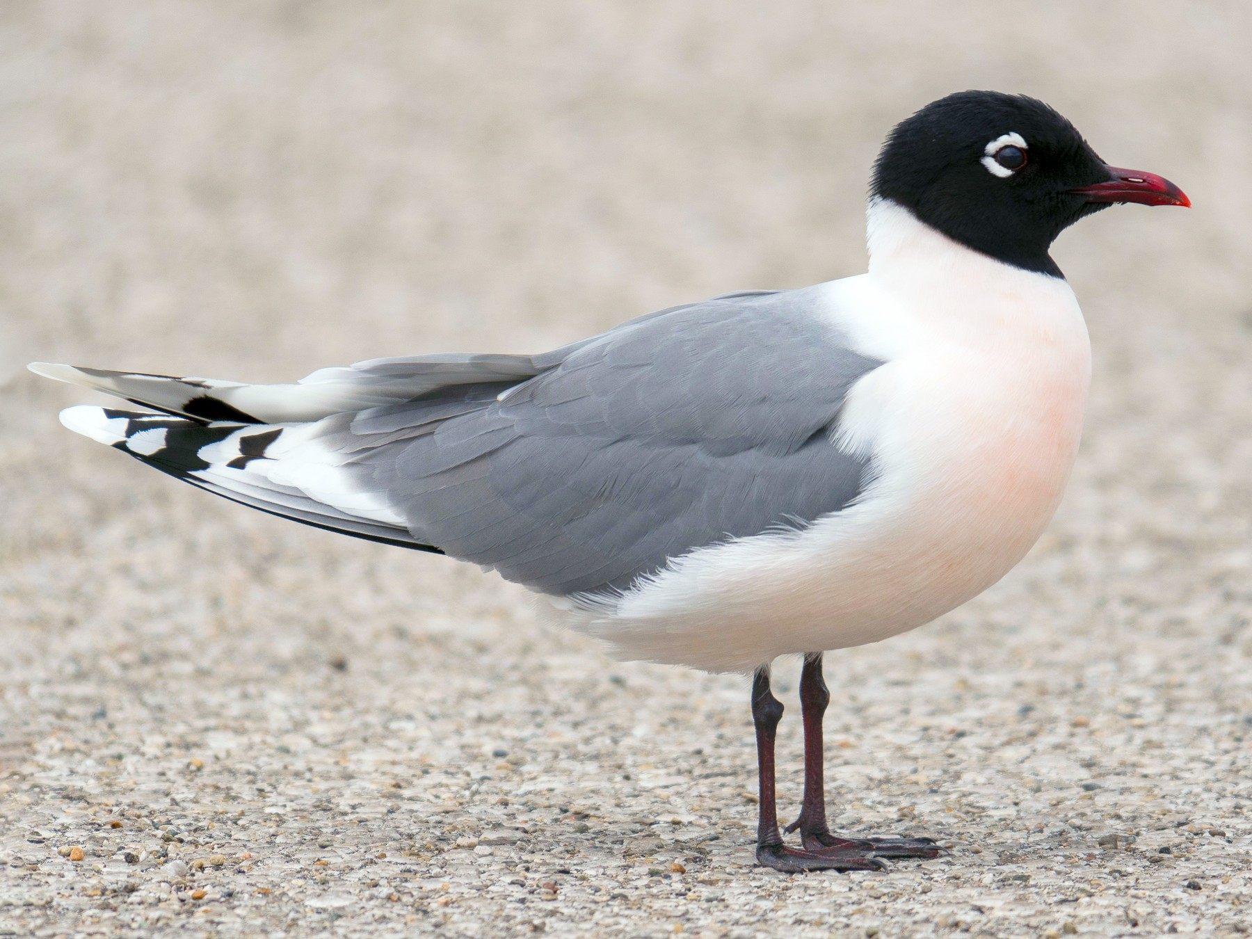 Franklin's Gull - Joe Bailey