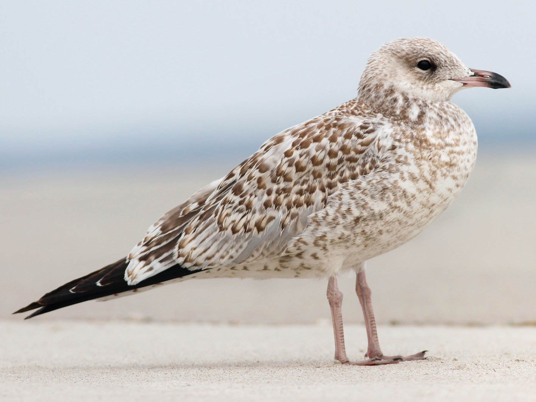 Ring-billed Gull - Davey Walters