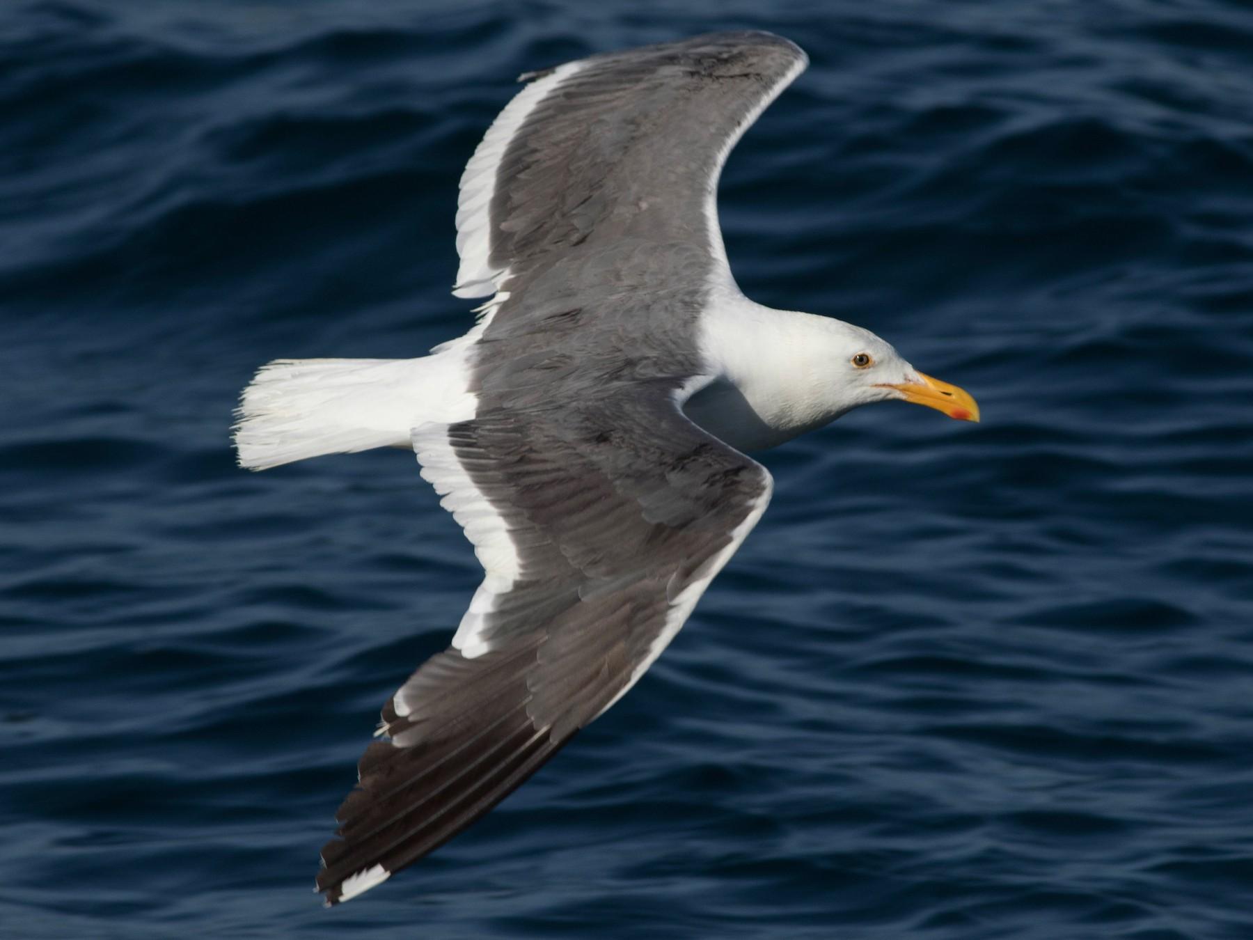 Western Gull - Jack Rogers
