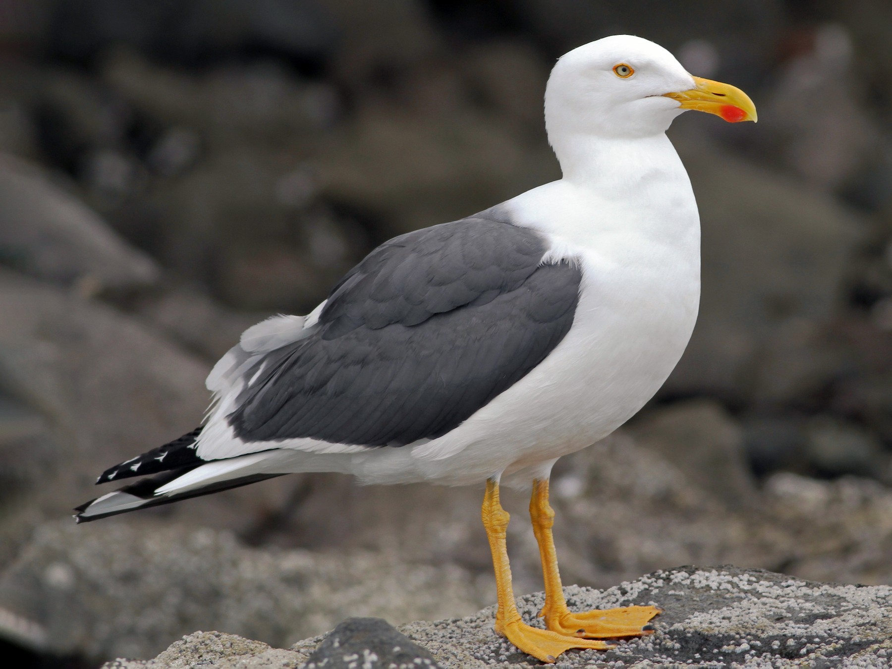 Yellow-footed Gull - Chris Wiley