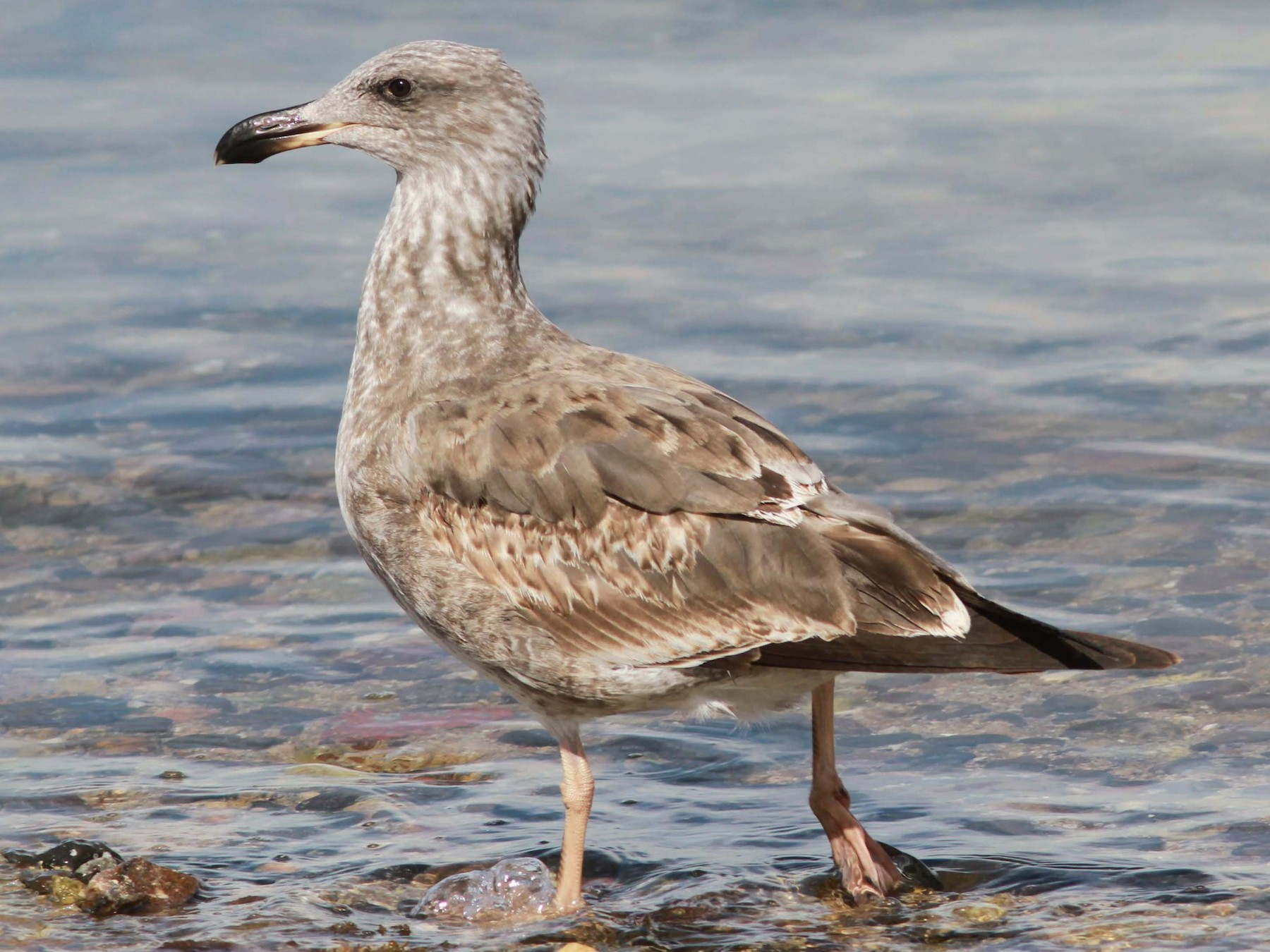 Yellow-footed Gull - David Vander Pluym