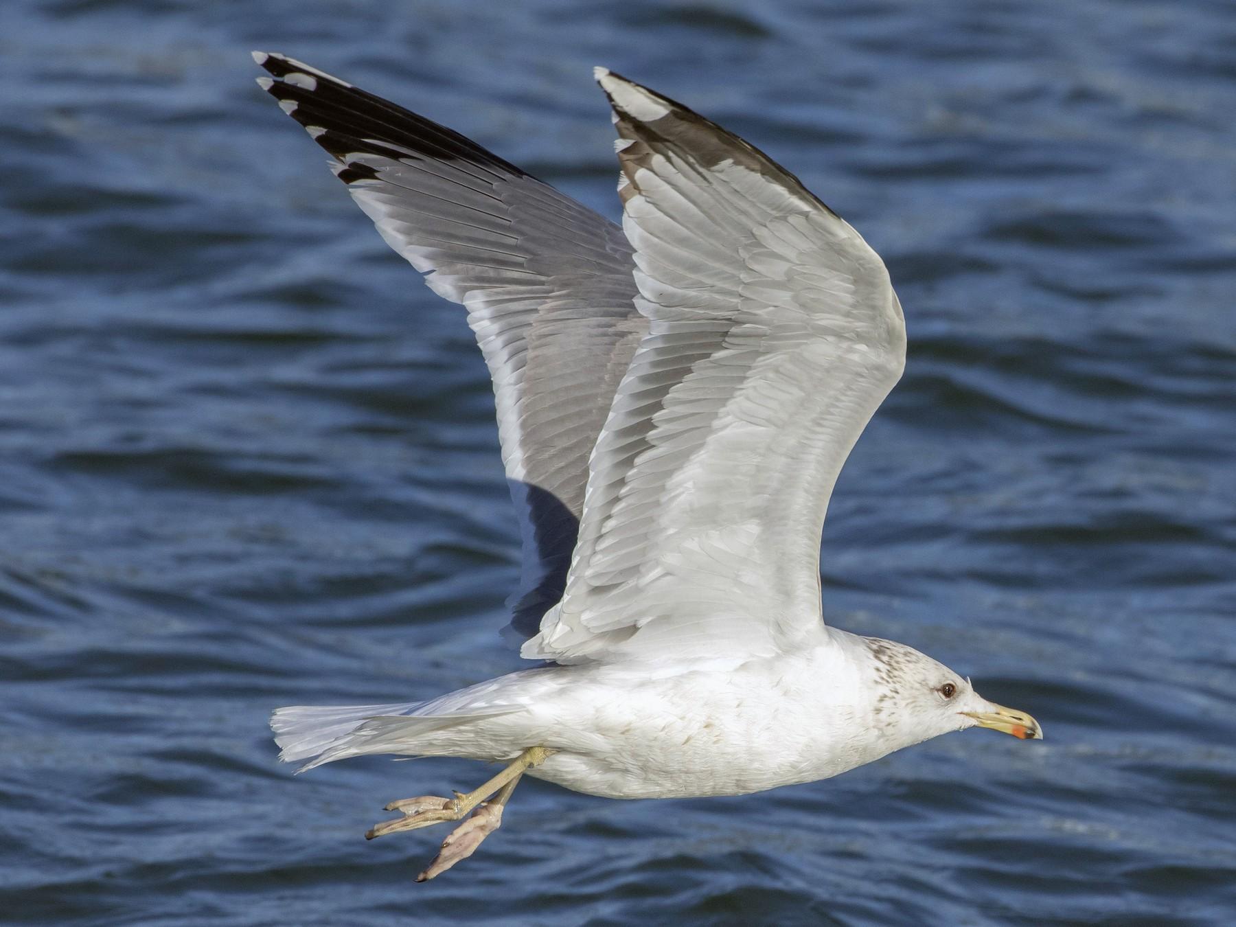 California Gull - Caleb Putnam