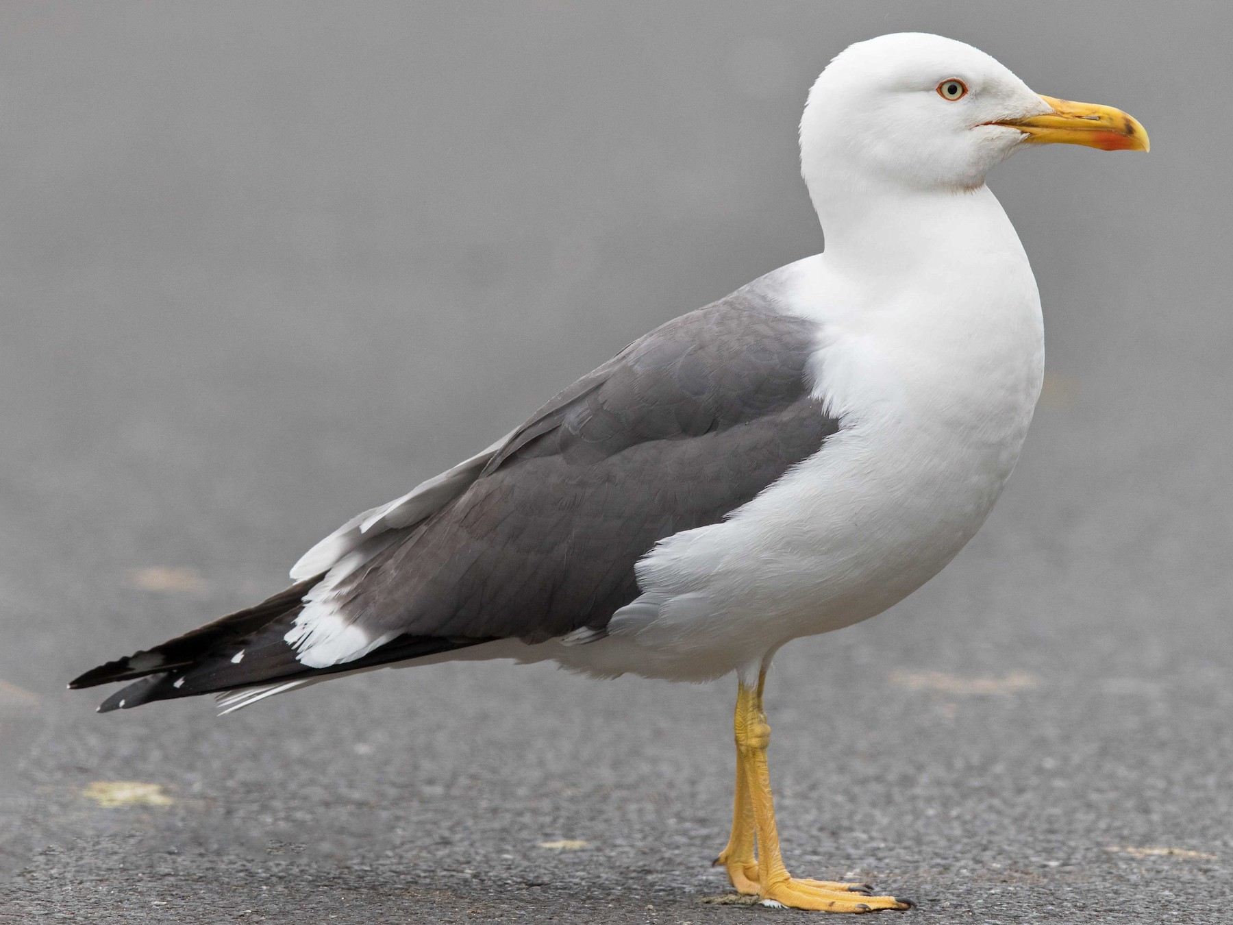 Lesser Black-backed Gull - Jim Hully