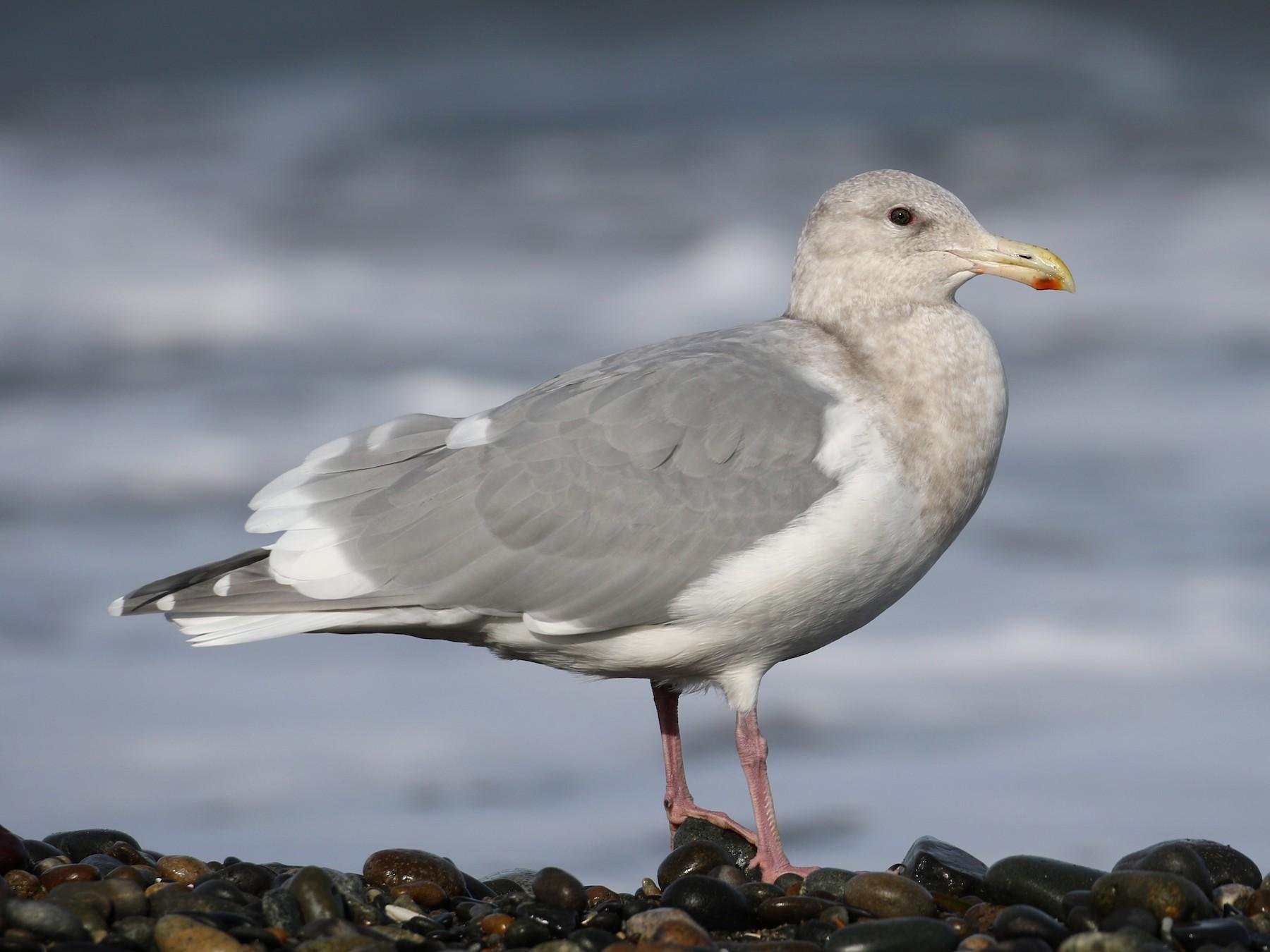 Glaucous-winged Gull - Cameron Eckert
