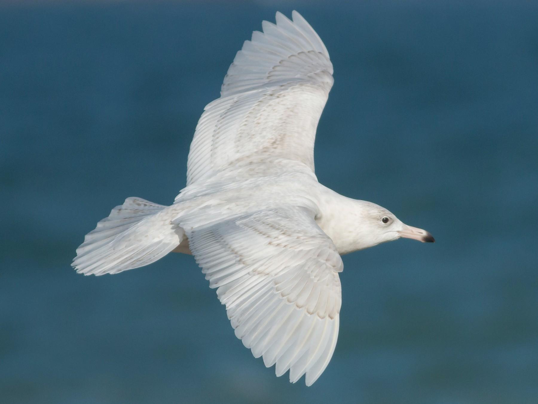 Glaucous Gull - Ruth  Danella