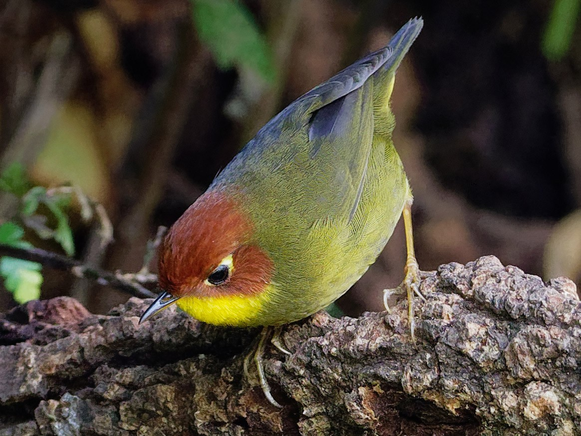 Chestnut-headed Tesia - Vincent Wang