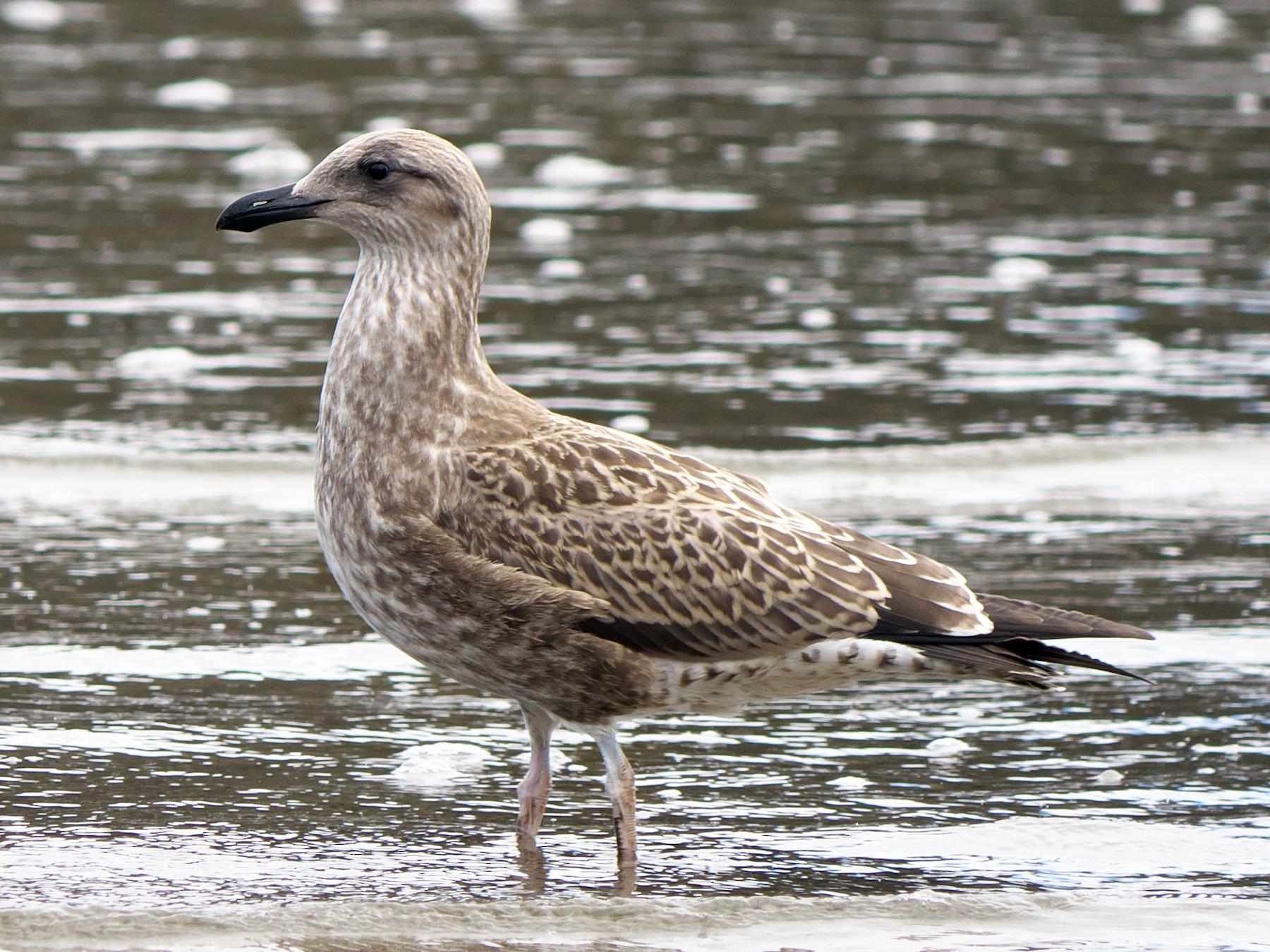 Kelp Gull - Paul Tavares
