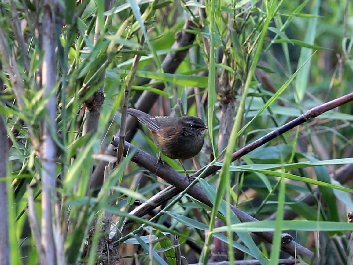 Smoky Warbler - Gaurang Bagda
