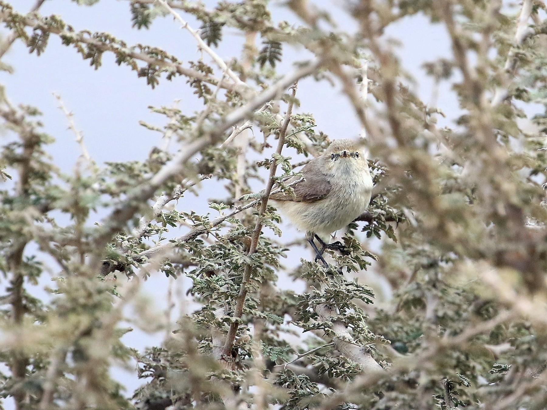 Plain Leaf Warbler - Patrick MONNEY