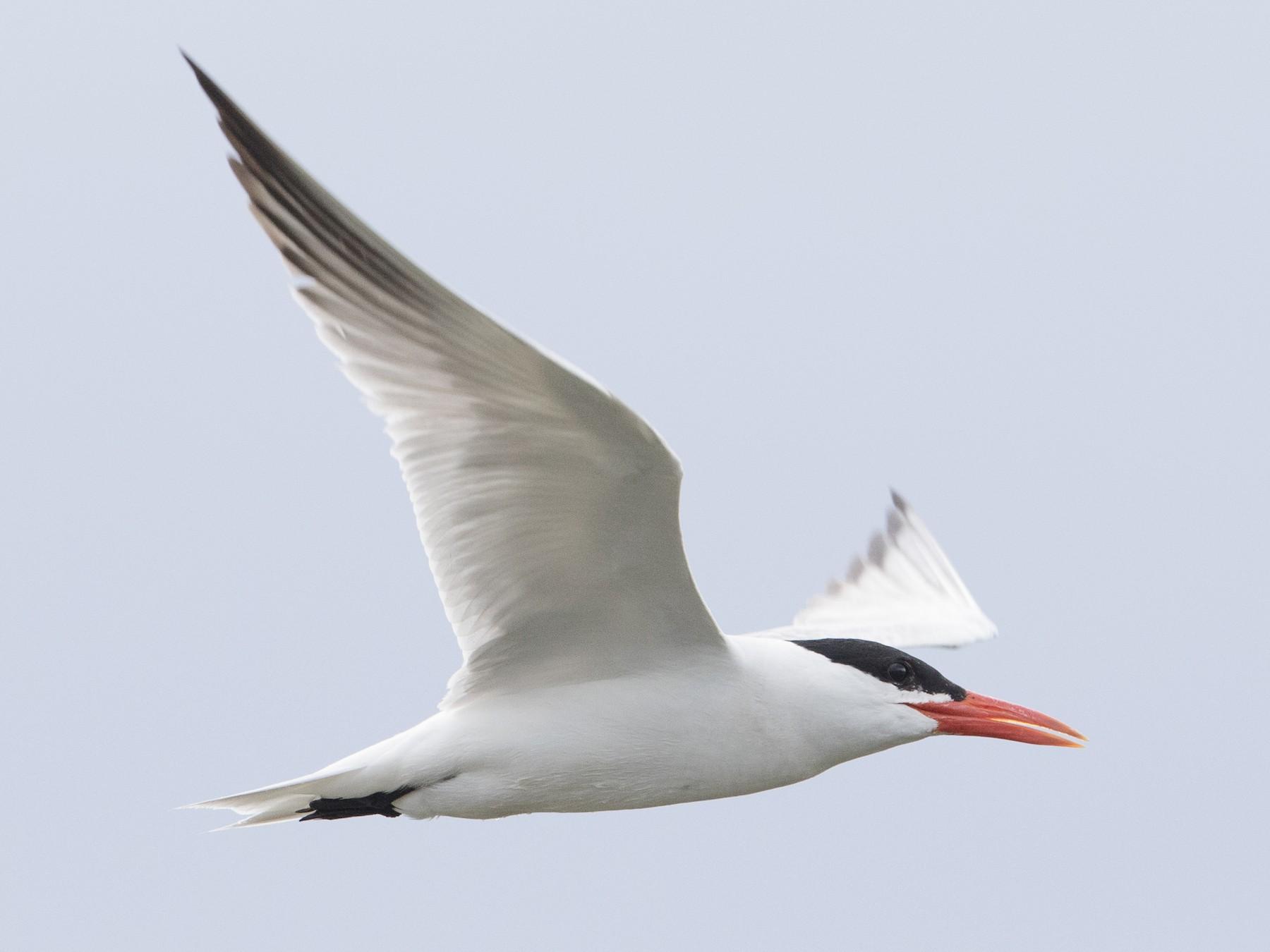 Caspian Tern - Steve Kelling