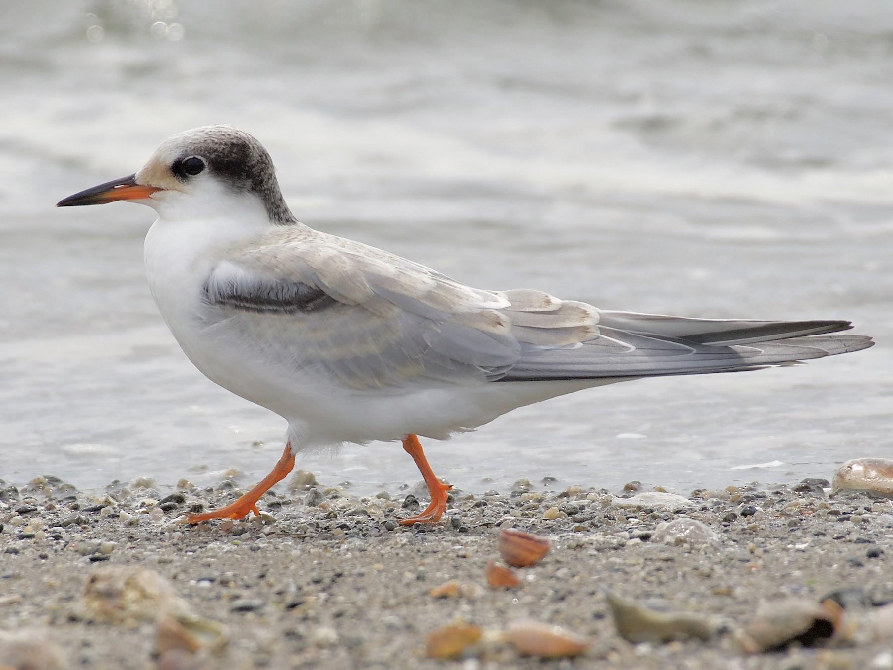 Common Tern - L. Olsen