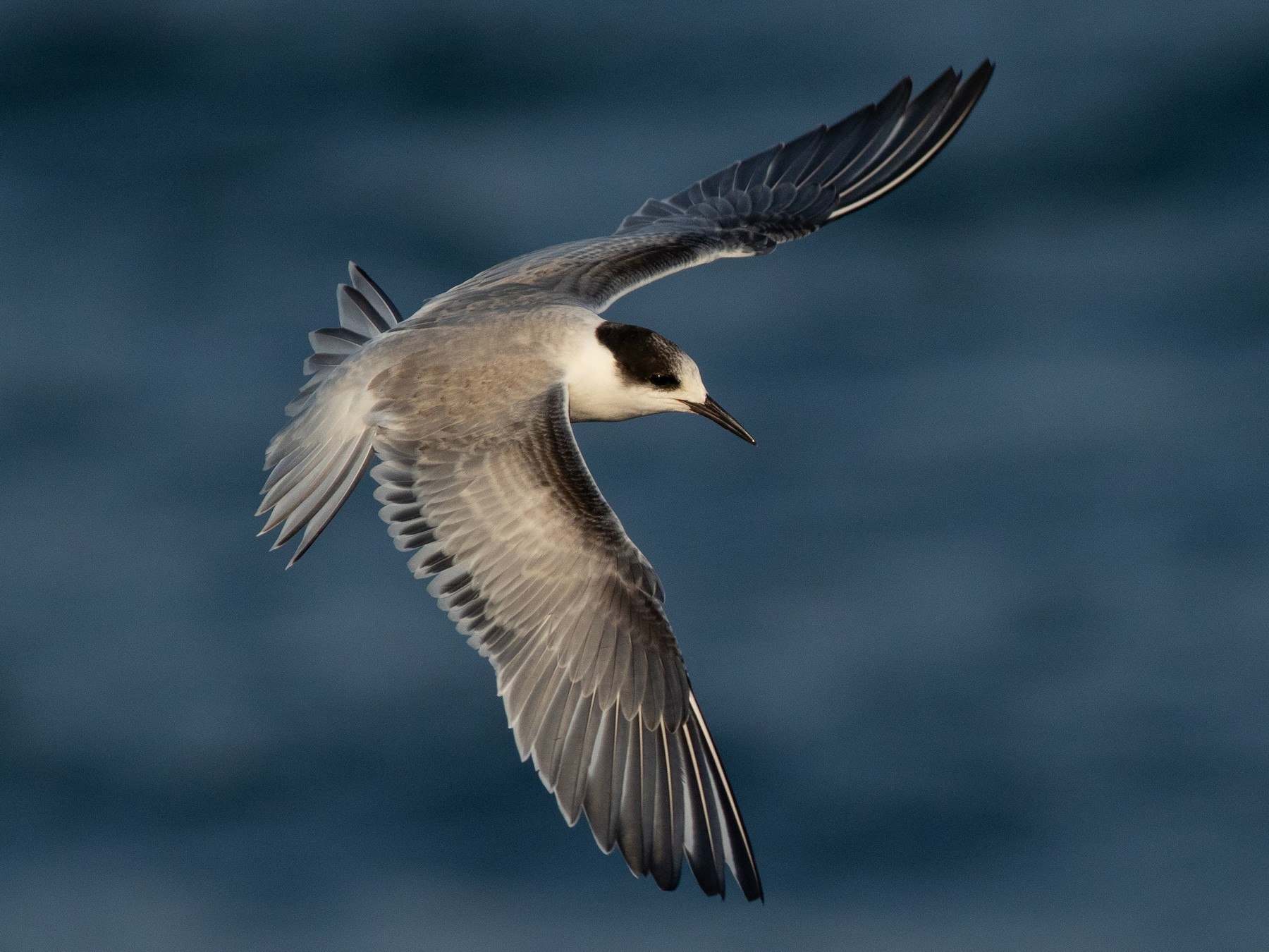 Common Tern - Max McCarthy
