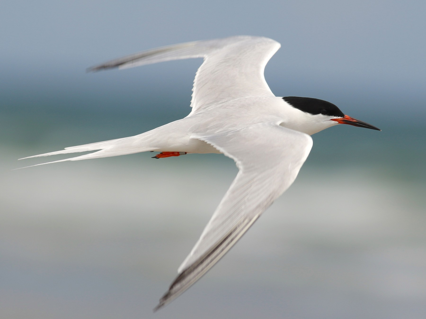 Roseate Tern - Nathan Dubrow