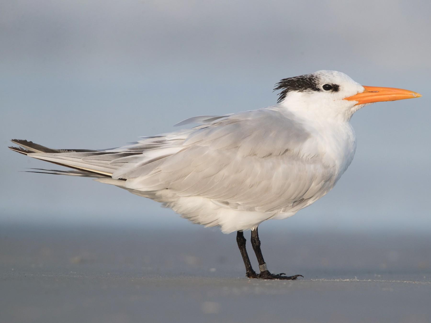 Royal Tern - Brendan Klick