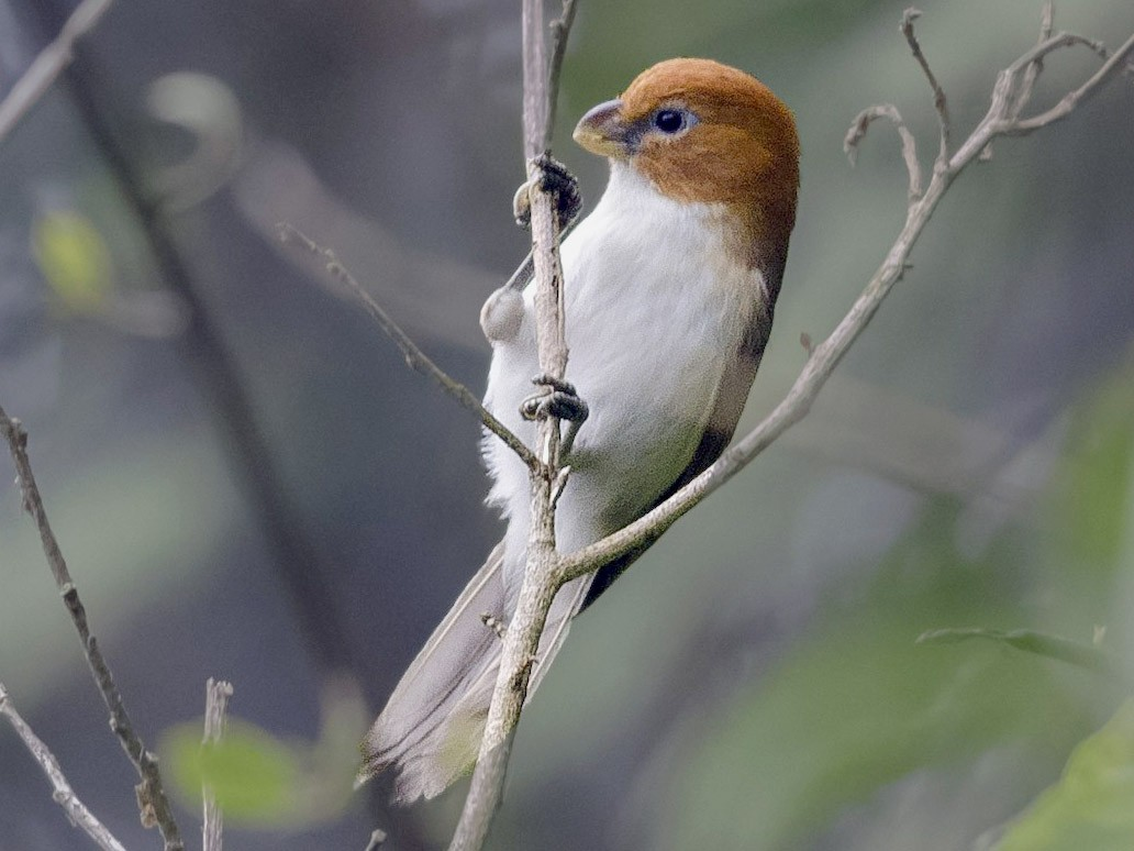 White-breasted Parrotbill - Ratul Singha