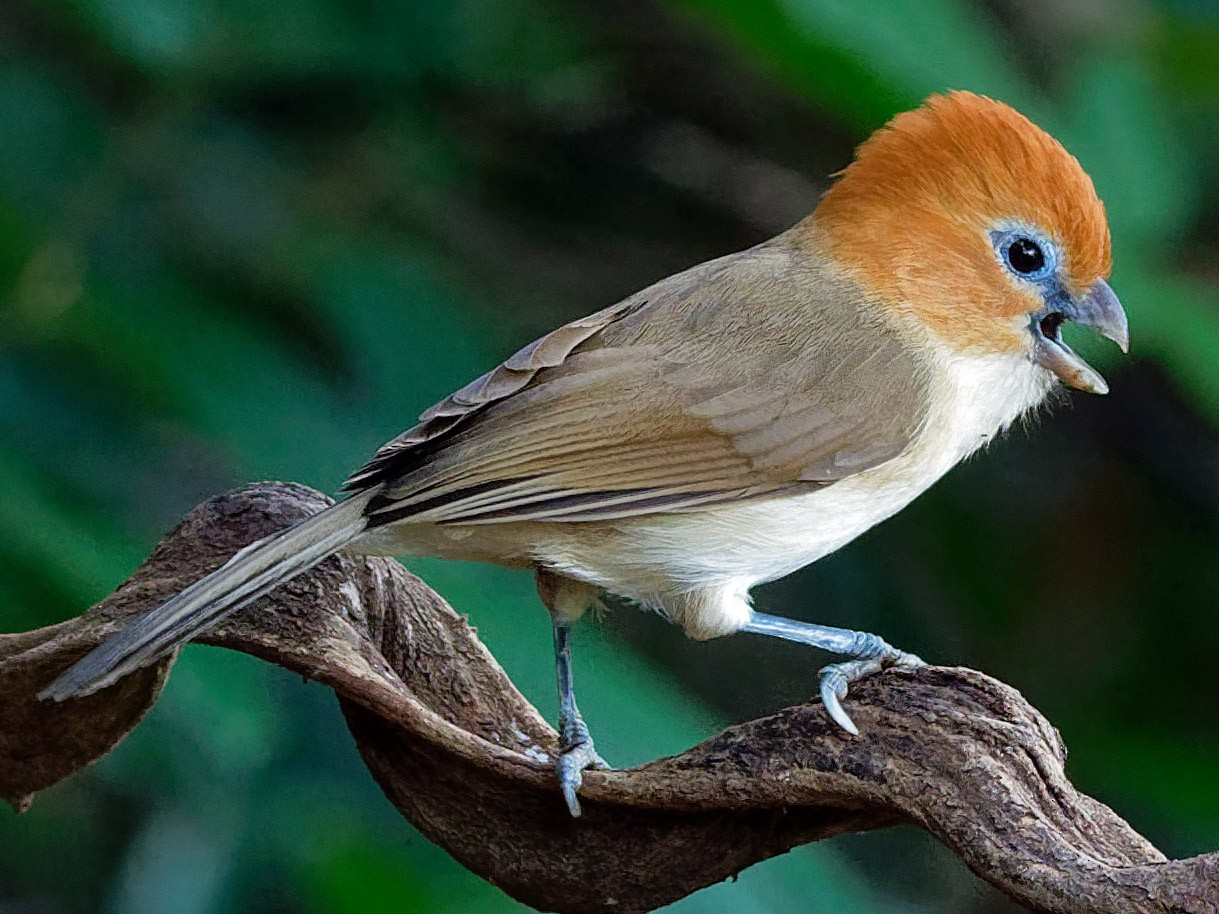 White-breasted Parrotbill - Vincent Wang