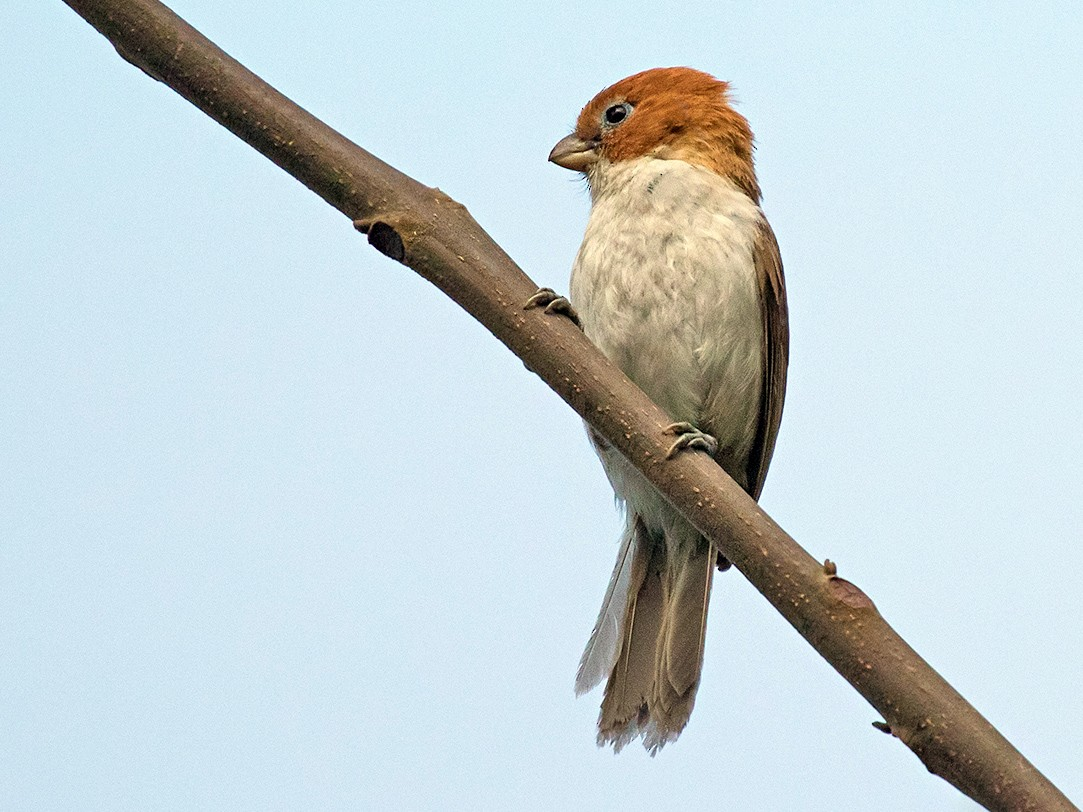 White-breasted Parrotbill - Roozbeh Gazdar